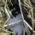 Mouser (The Cat) in the hay.